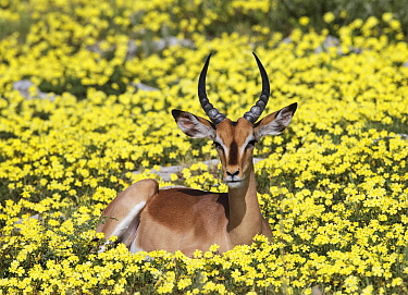 Black-faced impala (Aepyceros melampus petersi) young male Lying in Devil's-thorn yellow flowers  (Tribulus terrestris) Etosha National Park  Namibia, March.
