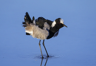 Blacksmith plover (Vanellus armatus) shaking feathers Etosha National Park, Namibia.