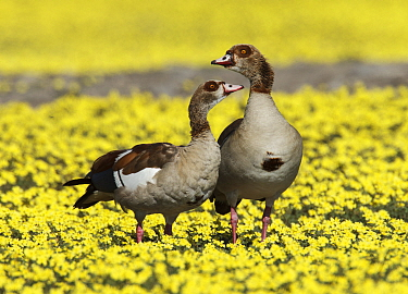 Egyptian goose (Alopochen aegyptiaca) pair amongst Devil's-thorn yellow flowers  (Tribulus terrestris) Etosha National Park, Namibia, March.