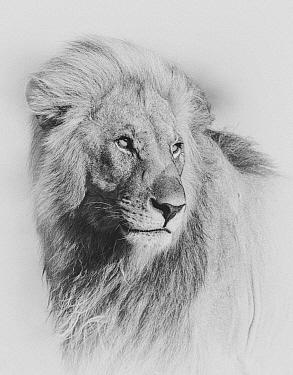 African lion (Panthera leo) male. Etosha National Park, Namibia. Digitally enhanced.