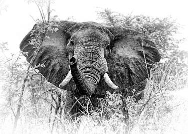 African elephant (Loxodonta africana) South Luangwa NP. Zambia. Digitally enhanced.