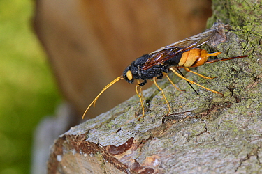 Giant wood wasp (Urocerus gigas) ovipositing / laying eggs in Cedar log, Wiltshire garden, UK, May.