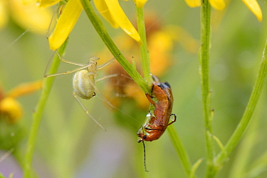 Female Comb-footed spider (Enoplognatha ovata) wrapping a Common red soldier beetle (Rhagonycha fulva) with silk after injecting it with venom. Chalk grassland meadow, Wiltshire, UK, July.