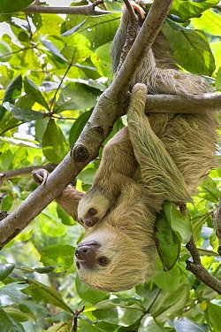 Hoffmann's Two-toed sloth (Choloepus hoffmanni) mother and baby, aged 2 months, in tree, Costa Rica. Rescued and released by Aviarios Sloth Sanctuary.