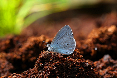 Holly blue butterfly (Celastrina argiolus) male at 'salt lick' on peat. Surrey, England, UK, July.