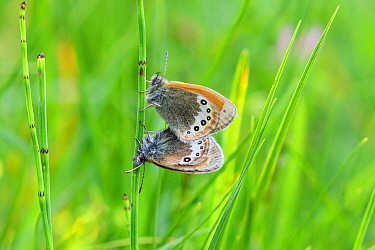 Alpine heath (Coenonympha gardetta) mating pair. Italy, July.