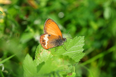 Pearly heath butterfly (Coenonympha arcania). Italy, July.