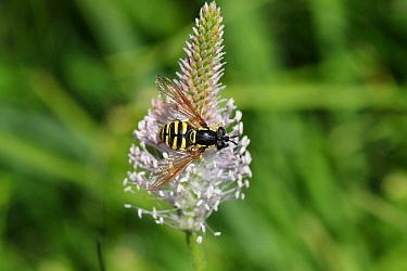 Wasp hoverfly (Chrysotoxum cautum). Italy, July.
