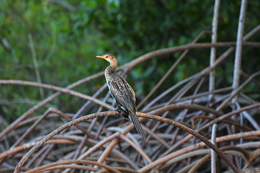 Long-tailed cormorant (Phalcrocorax africanus) on Red Mangrove (Rhizophora mangle). Gambia, Africa