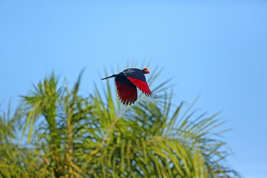 Violet turaco (Musophaga violacea) showing red flight feathers due to turacin, a pigment unique to turacos. Gambia,  West  Africa