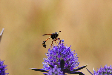 Thick-headed fly (Physocephala furcillata) on Eryingium. Surrey, England, UK, August.