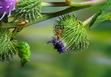 Burdock gall Fly (Terellia tussilaginis) female. Surrey, England, UK, July,