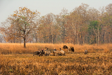 Red-headed vultures (Sarcogyps calvus) and White-rumped vultures (Gyps bengalensis) and Slender-billed vultures (Gyps tenuirostris). Preah Vihear Protected Forest, Cambodia. Take on location for BBC '...