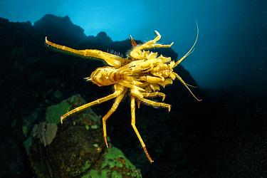 Freshwater isopod, Amphipod gammarus (Acanthogammarus victorii) swimming, Lake Baikal, Siberia, Russia