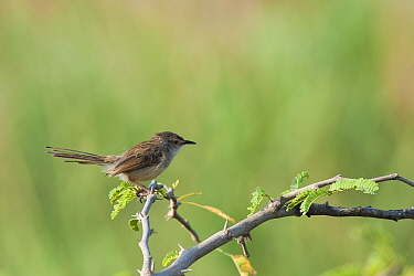 Graceful Prinia (Prinia gracilis), Salalah, Sultanate of Oman, February.