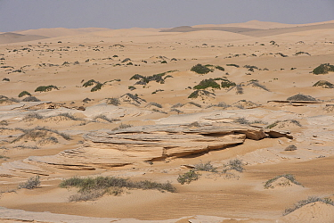 Typical sand desert with sandstone outcrops and sparse vegetation, Rimal Al Wahiba desert, Sultanate of Oman, February.