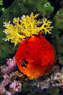 Sea cucumber (Pseudocolochirus violaceus) Rinca, Komodo National Park, Indonesia.