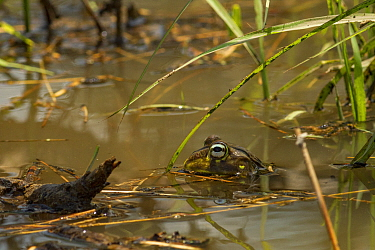 African bullfrogs (Pyxicephalus edulis) male calling for a mate, Gorongosa National Park, Mozambique