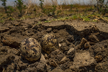 Collared pratincole (Glareola pratincola) eggs camouflaged on the floodplain, Gorongosa National Park, Mozambique.