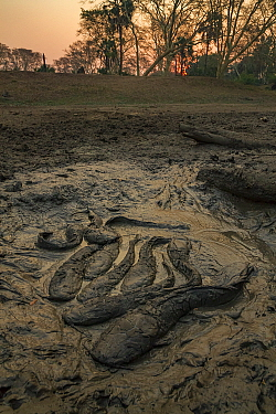 African sharptooth catfish (Clarias gariepinus) in mud in the dry season. These fish can breath air, helping them survive in drying ponds in this highly seasonal ecosystem. Gorongosa National Park, Mo...
