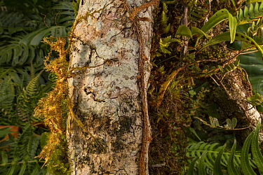 Moss mimic stick insect (Trychopeplus laciniatus) in Monteverde Cloud Forest Reserve, Costa Rica.