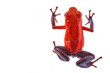 Strawberry poision arrow frog (Oophaga pumilio) photographed in studio at La Selva Biological Station, Costa Rica.