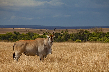 Common eland (Taurotragus oryx) male standing with Yellow-billed oxpecker (Buphagus africanus) on dewlap. Masai Mara Reserve, Kenya.