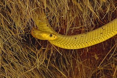 Bright yellow cape cobra (Naja nivea) in the nest of Sociable weavers (Philetairus socius) Kalahari Desert, South Africa.