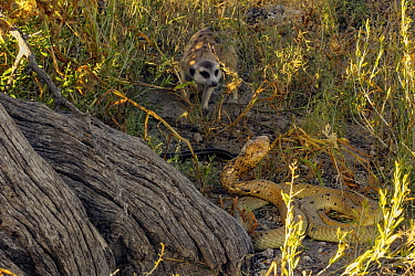 Meerkat (Suricata suricatta) mobbing a Cape cobra (Naja nivea) in the Kalahari Desert, South Africa