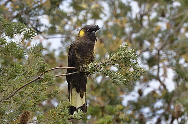 Yellow-tailed black cockatoo (Calyptorhynchus funereus) Tasmania, Australia