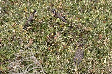 Yellow-tailed black cockatoo (Calyptorhynchus funereus) eating banksia cones. Tasmania, Australia