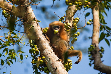 Western hoolock gibbon (Hoolock hoolock) feeding in tree, Assam, India.