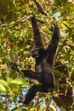 Western hoolock gibbon (Hoolock hoolock) male hanging from branch, Assam, India.