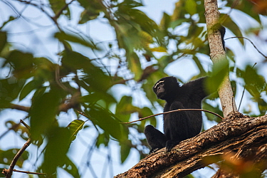 Western hoolock gibbon (Hoolock hoolock) male in tree, Assam, India.