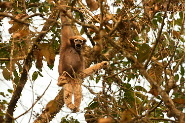 Western hoolock gibbon (Hookock hoolock) female in tree, Assam, India.