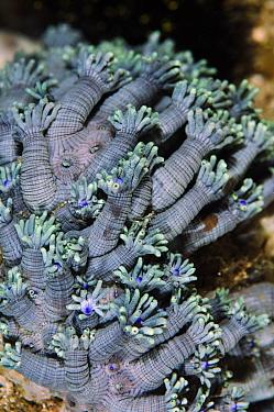 Flowerpot coral (Goniopora sp.) Aljui Bay, Raja Ampat, West Papua, Indonesia.