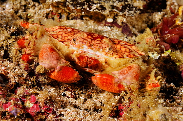 Mosaic reef crab (Lophozozymus pictor), on the reef at night Aljui Bay, Raja Ampat, West Papua, Indonesia.