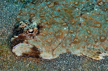 Ocellated flounder / Twin-spot flounder (Pseudorhombus dupliciocellatus), camouflaged on sea bed Lembeh Strait, North Sulawesi, Indonesia, February 2016