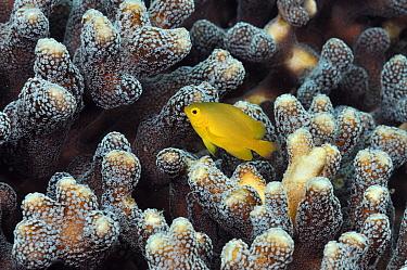 Lemon damsel (Pomacentrus moluccensis), sheltering in coral Rinca, Komodo National Park, Indonesia.