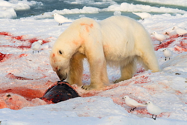 Polar bear (Ursus maritimus) feeding on seal with Ivory gulls (Pagophila eburnea) standing by,  Svalbard, Norway September