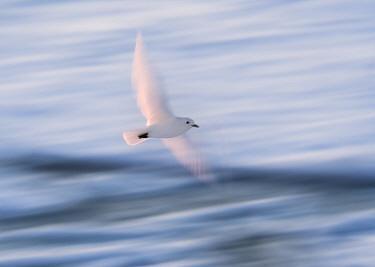 Ivory Gull (Pagophila eburnea) in flight, Svalbard, Norway September