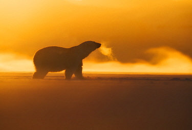 Polar bear (Ursus maritimus)  silhouetted in winter, Svalbard, Norway, March.