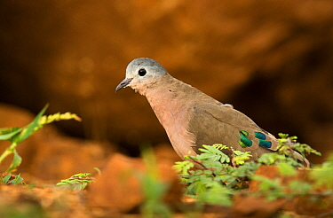 Emerald-spotted wood dove (Turtur chalcospilos) Zimanga, South Africa