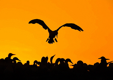 Cape gannet (Morus capensis) silhouetted in flight, Bird Island, South Africa