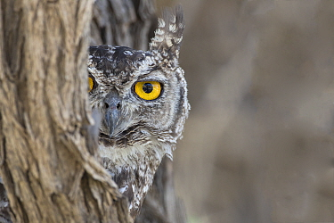 Spotted eagle owl (Bubo africanus) looking out from tree trunk, Kgalagadi Transfrontier Park, Northern Cape, South Africa, February.