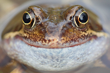 Portrait of Common frog (Rana temporaria) in garden pond, Warwickshire, England, UK, March. 2020VISION Book Plate.