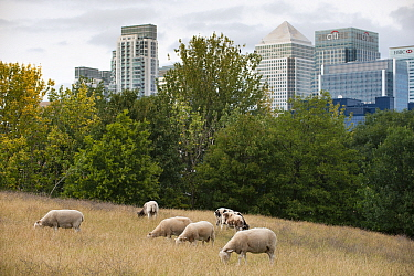 Domestic sheep (Ovis aries) grazing on urban pasture, Mudchute Farm, Isle of Dogs, London, England, UK, August. Did you know? The domestication of sheep is hugely important to humans  more than a bill...