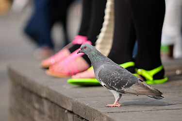 Feral pigeon (Columba livia) on ground, with people's feet in the background, South Bank, London, England, UK, September. Did you know? In the 16th Century England pigeon guano was the only source of...