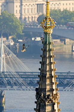 Juvenile Peregrine Falcon (Falco peregrinus) landing on the Houses of Parliament where its parent is perched. Central London, Autumn.