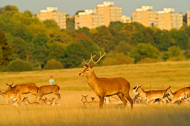 Red deer (Cervus elaphus) in Richmond Park with Roehampton Flats in background, London, England, UK, September. 2020VISION Book Plate